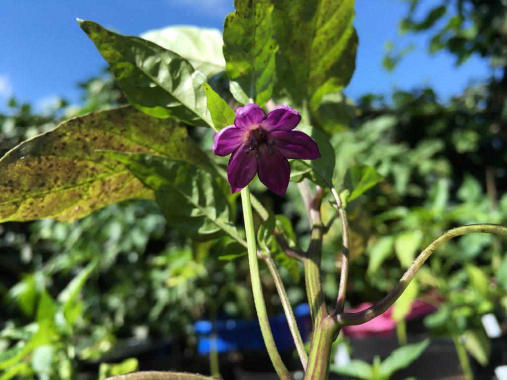 Jalapeño Blüte Deep Purple