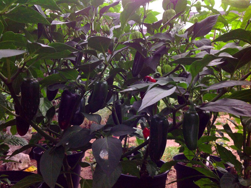Jalapeño Chili Pflanze