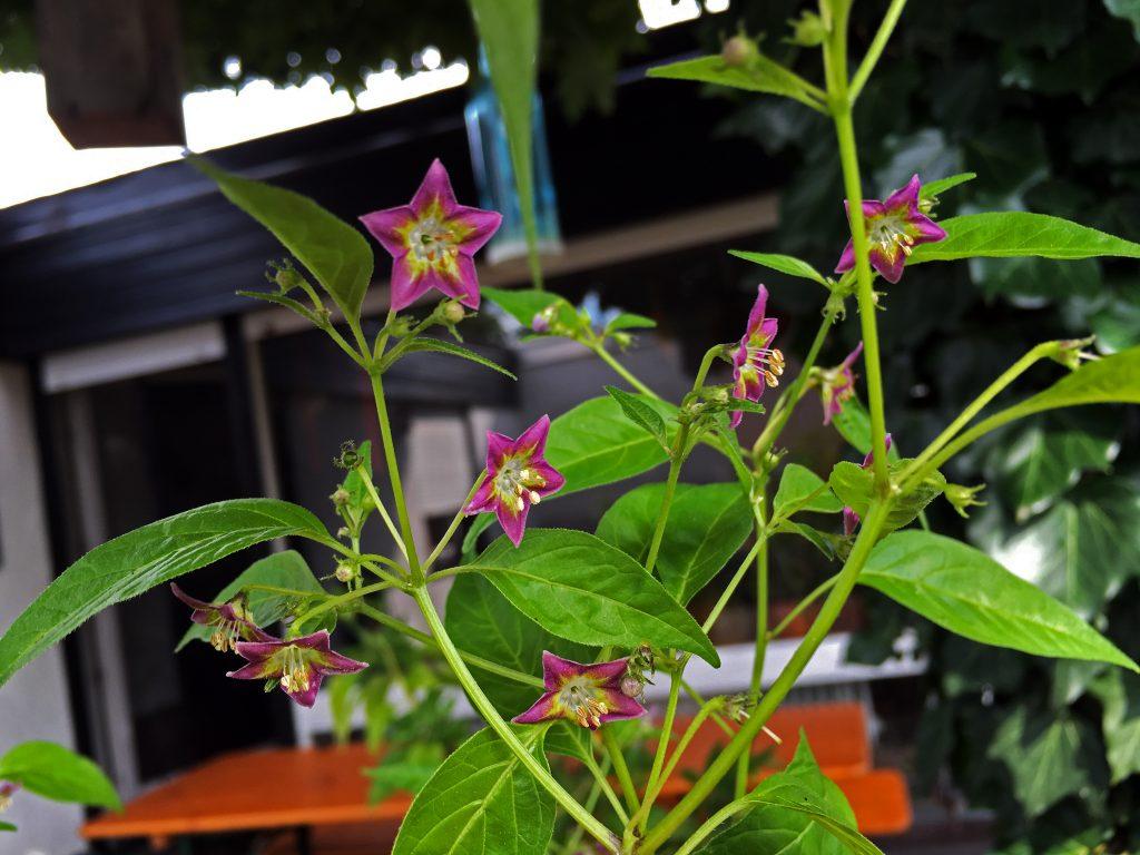 Capsicum Eximium Blüten